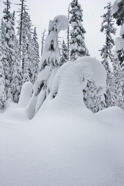 Alpine Hemlock & Snow - Clark Creek, Heather Canyon, Wy'East