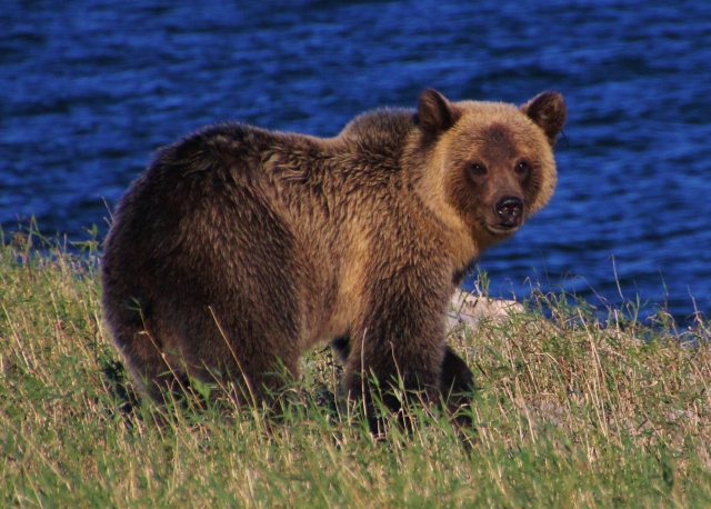 "Wild Grizzly known as ""Panda"" when a cub"