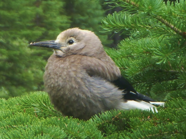 Clark's Nutcracker is thought to have planted most of the Whitebark Stone Pine's in existence - this one puffed itself up and hung out with us while we cooked breakfast on a cold morning below the Angel Glacier in Northern Jasper National Park, Alberta.