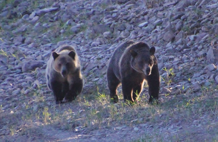 The successful recovery of the Grizzly Bear in Glacier National Park is directly connected to Whitebark Stone Pine - This is a 3 year old femal on the left and a 4 year old male on the right.