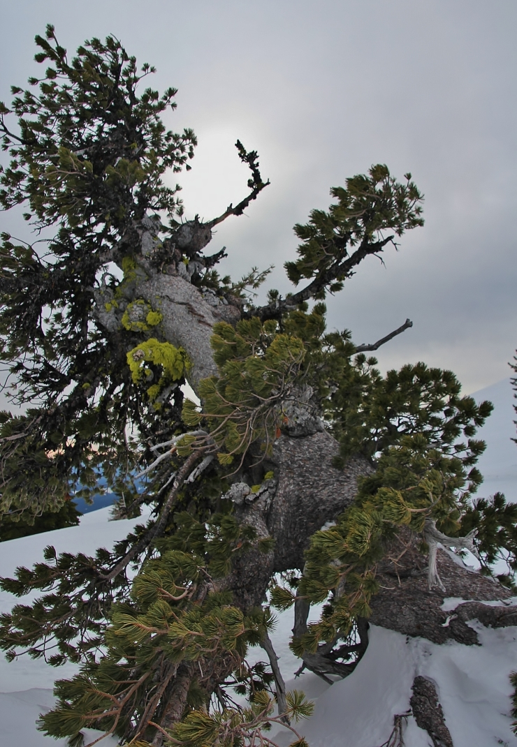 Elder Whitebark Stone Pine - a possible survivor of the 1781/1782 Volcanic Explosion which took out most of the trees on the southern exposure of timberline on Wy'East at the time.