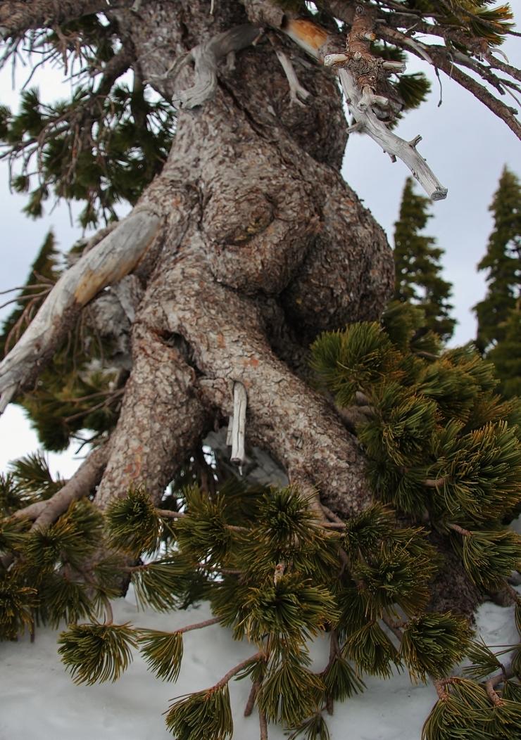 Slow Dancing of the Whitebark Stone Pine