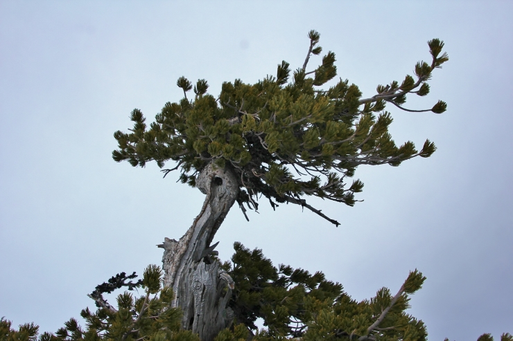 The Creative Crown of one of the Elders of the South Alpine Slopes of Wy'East - this may be a rare survivor of the 1781/1782 volcanic explosion which destroyed much of the alpine forest on the southern side of Wy'East at the time
