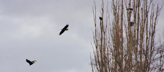 4 Bald Eagles - Winter on the NChi'Wana at Lone Pine in Lieu Site - (Below Celilo Falls at the Dalles)