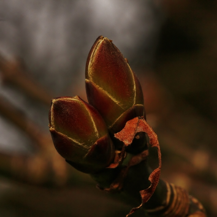 Big Leaf Maple Bud with Torn Wing