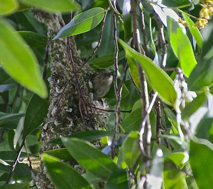 Mother Bushtit Leaving the Nest