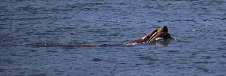 Sea Lion with Salmon at Bonneville