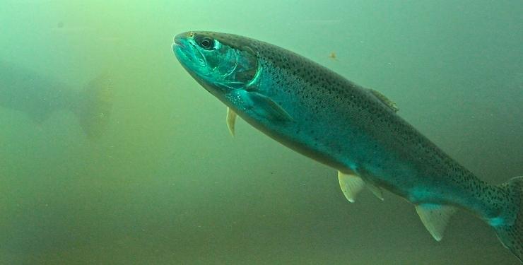 Steelhead Salmon in the CheeAwana