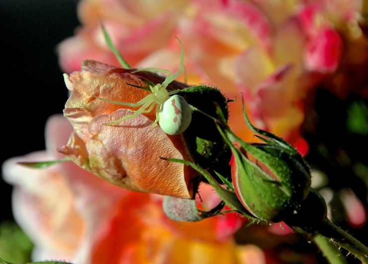White Spider carrying Grandmother Blessings on an Heirloom Rose