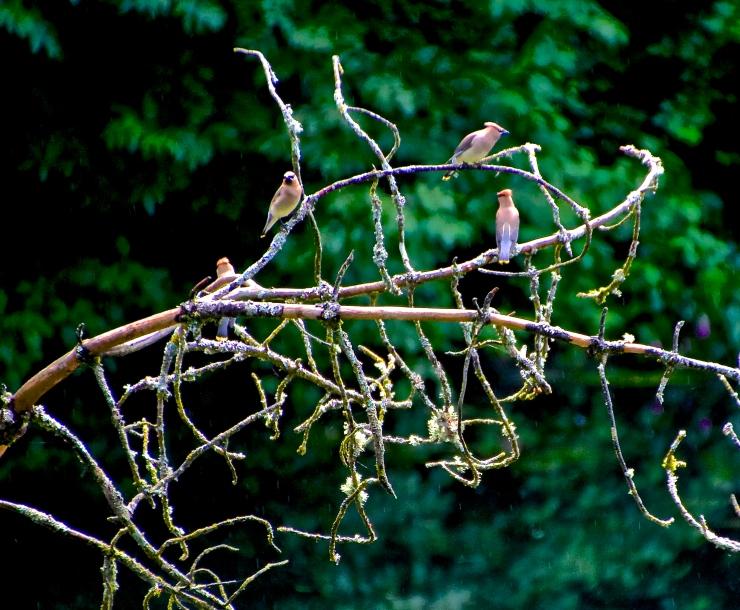 Quartet - Cedar Waxwings