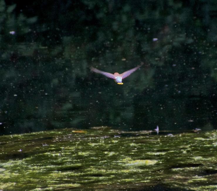 Flight - Cedar Waxwing