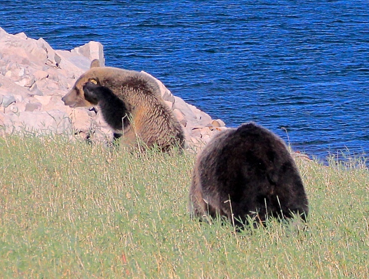 Grizzly Have a place at Celilo Falls - Rewilding Corridors Successful - 2063!