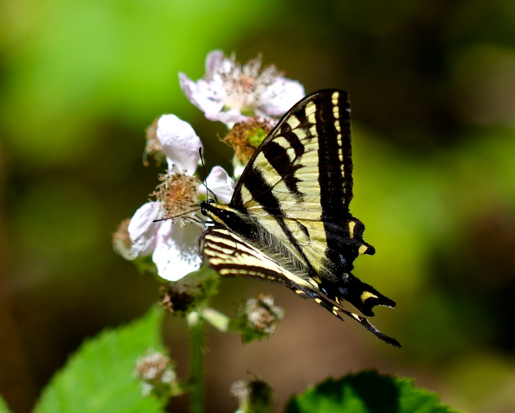 Swallowtail with Blackberry Blossom