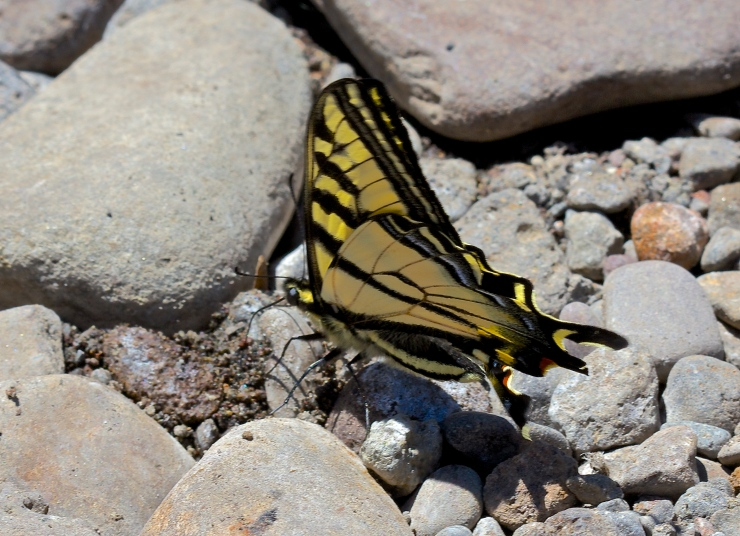 Swallowtail resting at Austin Hot springs