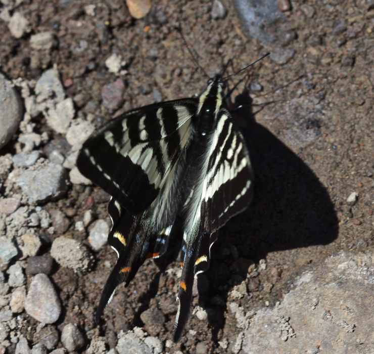 Pale Swallowtail drinking at Austin Host Springs