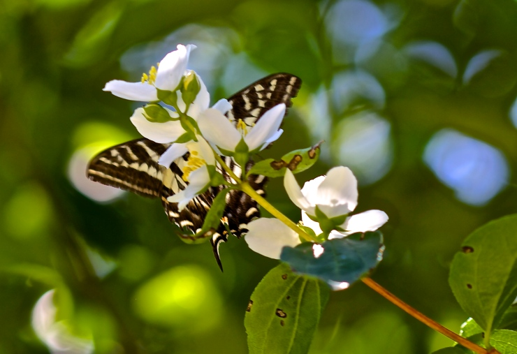 Swallowtail drinking the necter of wild Mock Orange