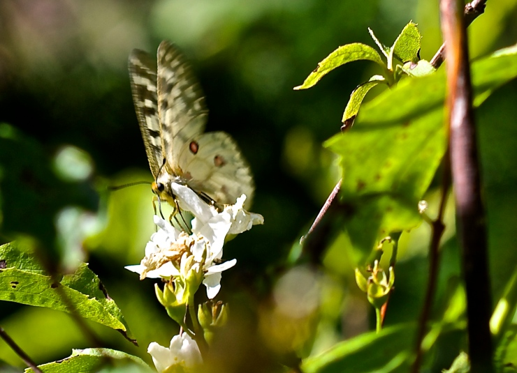 Unknown butterfly drinking Mock Orange Nectar