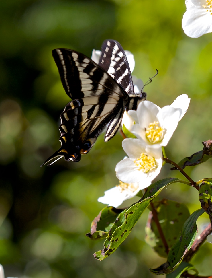 Swallowtail with Mock Orange
