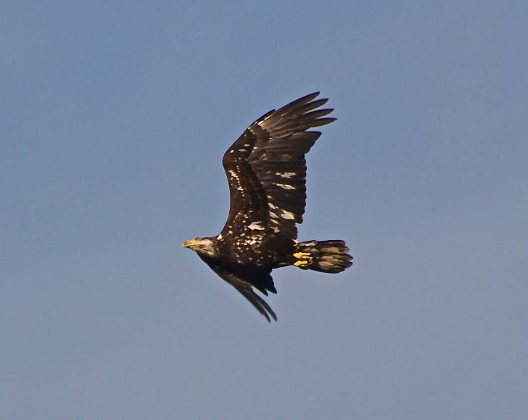 Young Eagle II