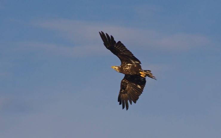 Young Eagle I