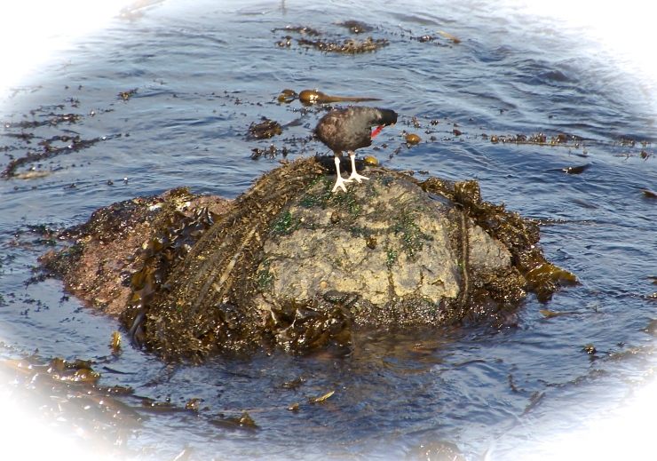 Oyster Catcher - Morning Ritual I