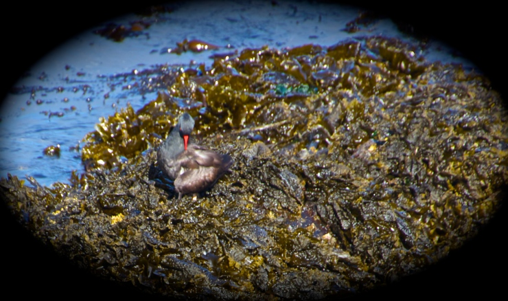 Oyster Catcher - Morning Ritual II