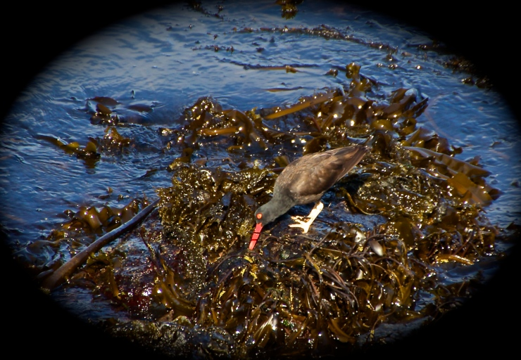 Oyster Catcher III