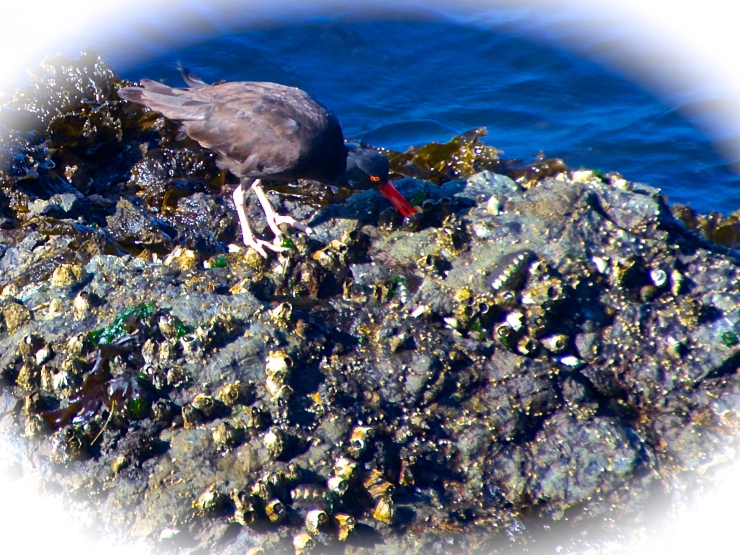 Oyster Catcher - Morning ritual V