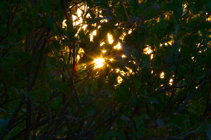 First Light through the Huckleberries...