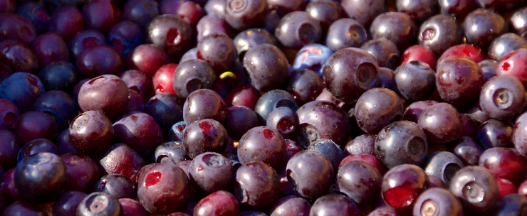 Mountain Huckleberry Medicine