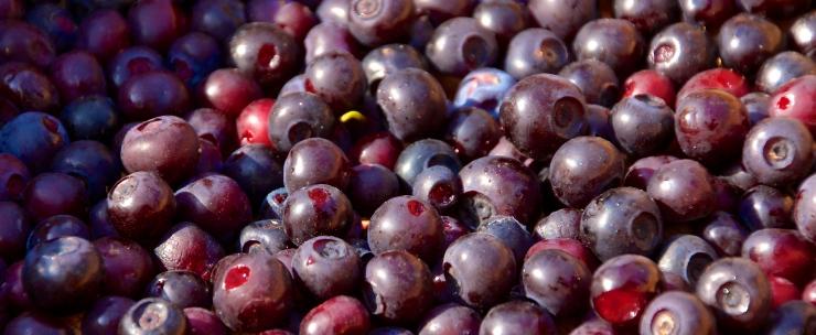 Mountain Huckleberry Medicine