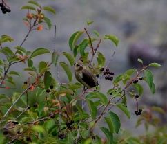 Cedar Waxwings with Chokeberry I
