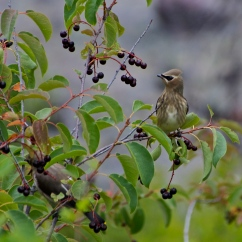 Cedar Waxwings with Chokeberry II