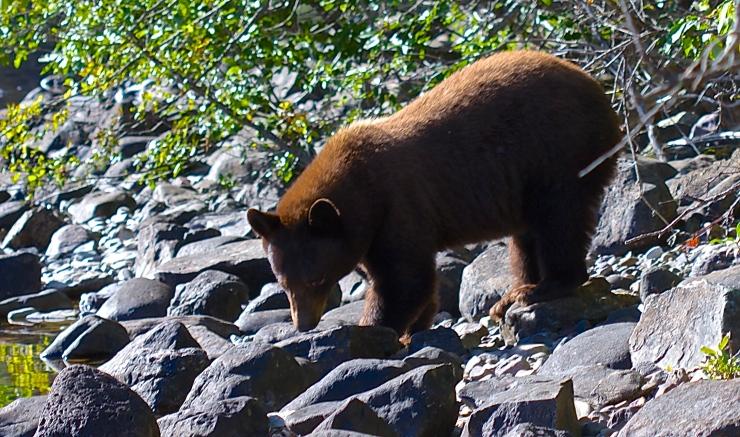 Bear Greeting at the  morning bath