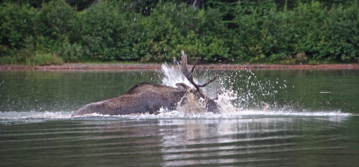 Bull Moose II