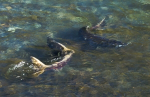 salmon on the day of return to the upper elwha-1-2