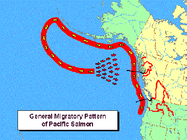 So there is a Migratory SpiralPattern  that all of the Pacific Coast Salmon tend to join up with.