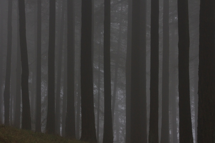 Coastal Doug Fir Monoculture in the mist