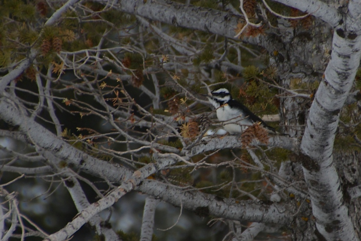 Downy Woodpecker feeding on Rocky Mt. Doug Fir