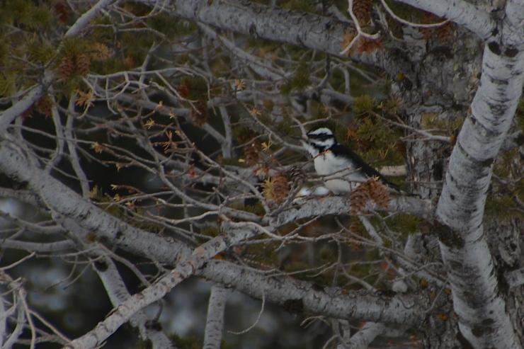 Downy Woodpecker feeding on Rocky Mt. Doug Fir