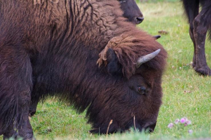 May the Buffalo Roam Free