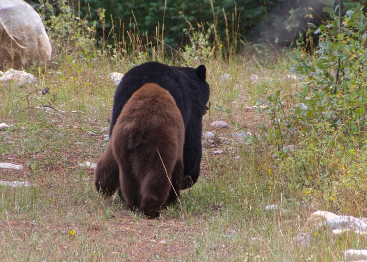Black Bear on the Roam - Grand Tetons