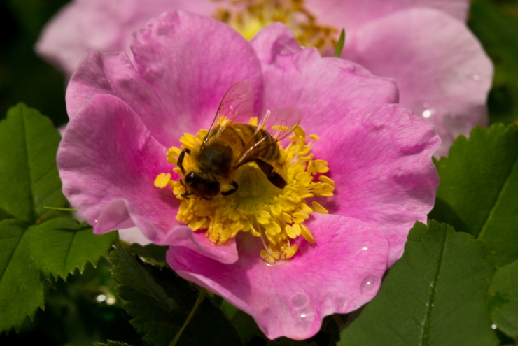 Nootka Rose & Honey Bee 2