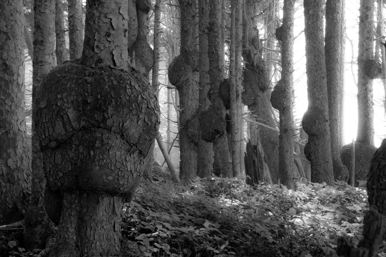 burled sitka spruce ….