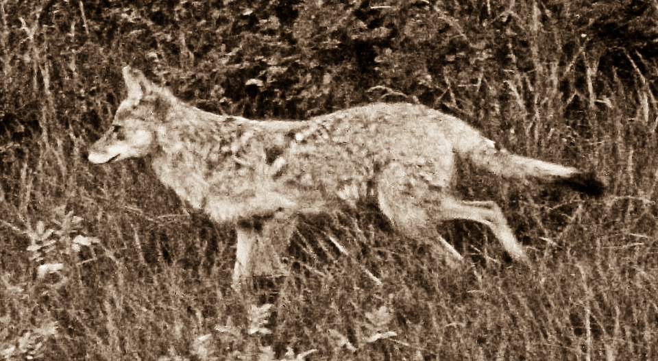 Listening to Coyote – Returning Celilo Falls and Freeing the BigRiver