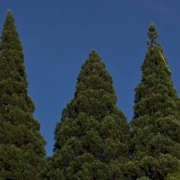 Three Ancient Redwood Trees Teaching Community