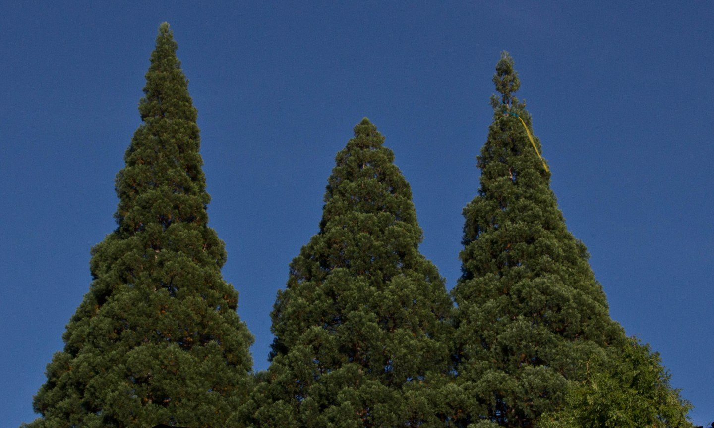 3 Ancient Sequoia-0808